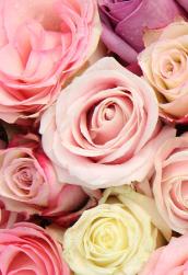 bridal-roses